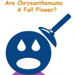Are Chrysanthemums A Fall Flower?