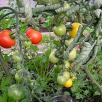 Tomato Plants Image