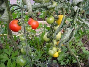Tomato Plants Image