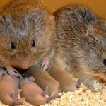 Voles Picture