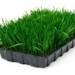 Wheatgrass Picture