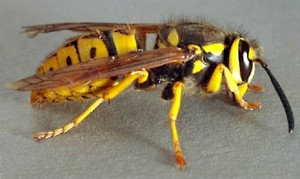 Yellow Jackets Image