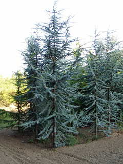 Blue Atlas Cedar Pictures