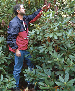 Pruning Rhododendrons Photo